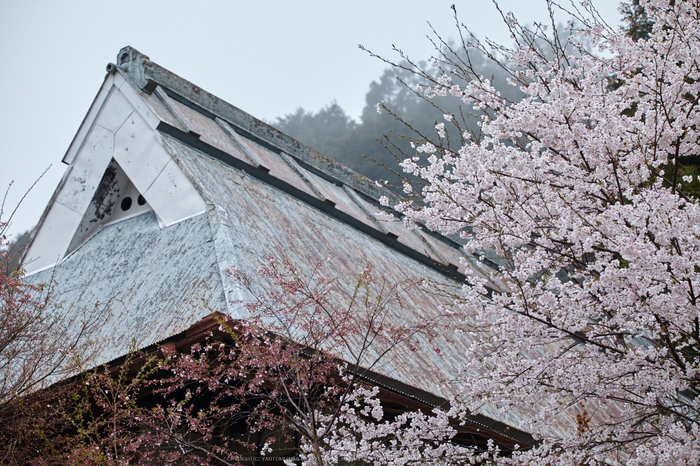 奈良西吉野,桜(IMG_8021,150 mm,F7.1_5DII)2015yaotomi.jpg