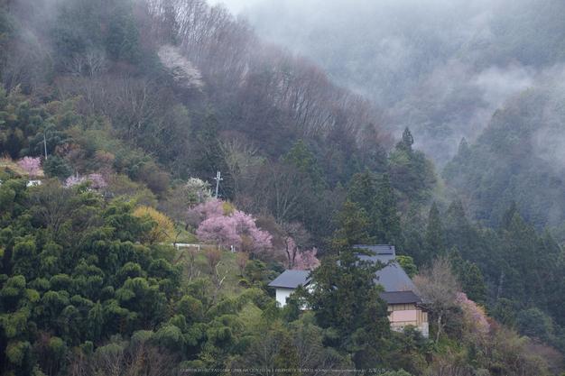 奈良西吉野,桜(IMG_8031,150 mm,F8_5DII)2015yaotomi.jpg