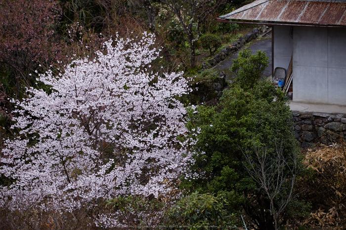 奈良西吉野,桜(IMG_8053,157 mm,F5.6_5DII)2015yaotomi.jpg