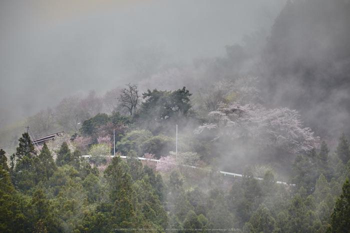 奈良西吉野,桜(IMG_8071,267 mm,F8_5DII)2015yaotomi.jpg