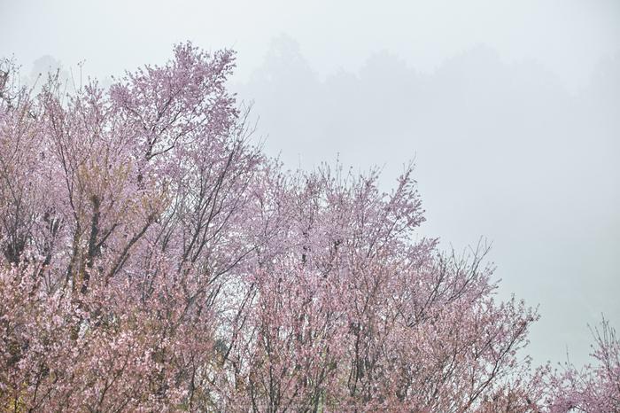 奈良西吉野,桜(IMG_8076,150 mm,F7.1_5DII)2015yaotomi.jpg