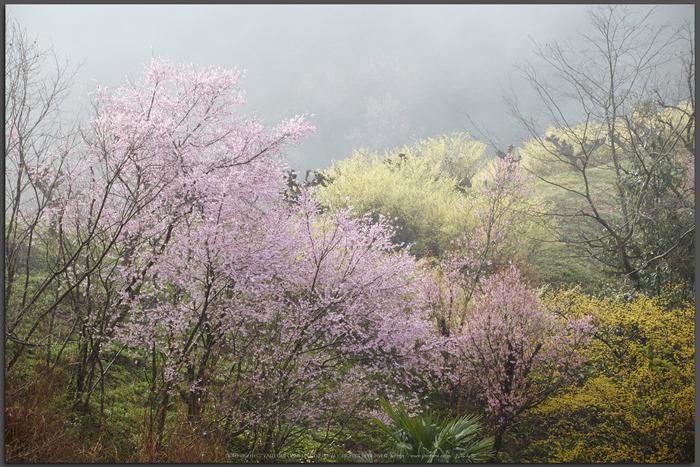 奈良西吉野,桜(IMG_8079,150-mm,F7.1_5DII_t)2015yaotomi.jpg