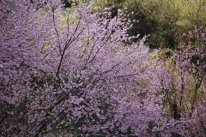 奈良西吉野,桜(IMG_8093,468 mm,F7.1_5DII)2015yaotomi 1.jpg