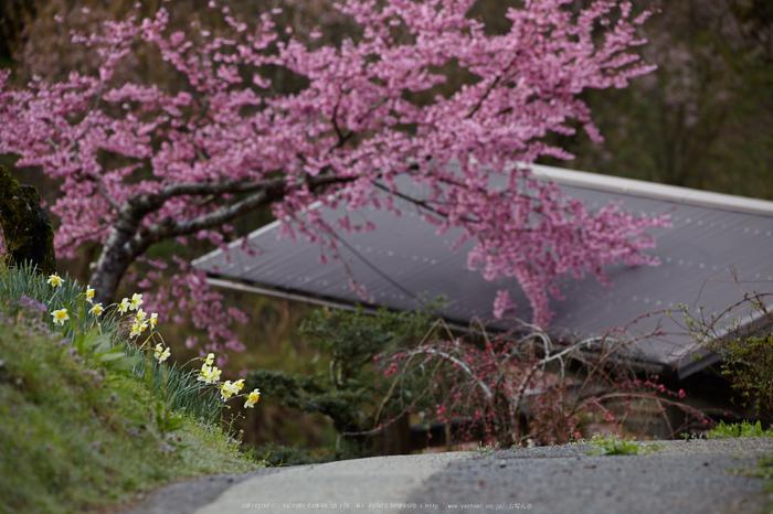 奈良西吉野,桜(IMG_8113,313 mm,7.1,5DII)2015yaotomi_.jpg