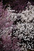 奈良西吉野,桜(IMG_8116,196 mm,5.6,5DII_F)2015yaotomi_.jpg