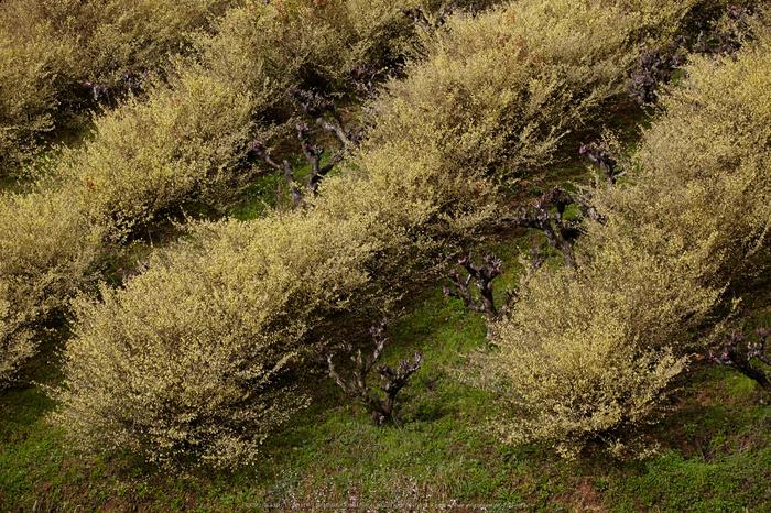奈良西吉野,桜(IMG_8124,196 mm,F7.1_5DII)2015yaotomi.jpg
