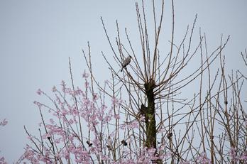 奈良西吉野,桜(IMG_8126,600 mm,F7.1_5DII)2015yaotomi_s1.jpg