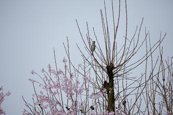 奈良西吉野,桜(IMG_8128,600 mm,F7.1_5DII)2015yaotomi_s2.jpg