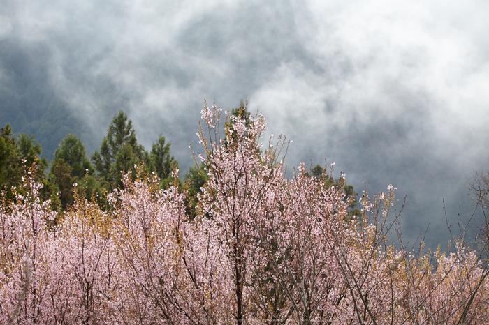 奈良西吉野,桜(IMG_8133,168 mm,F7.1_5DII)2015yaotomi.jpg