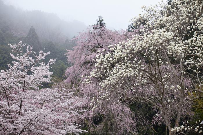 奈良西吉野,桜(IMG_8173,150 mm,F7.1_5DII)2015yaotomi.jpg