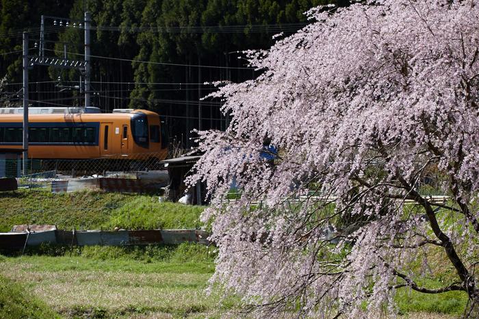 奈良西吉野,桜(IMG_8225,163 mm,F7.1_5DII)2015yaotomi.jpg