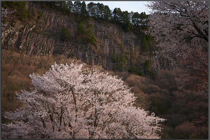 屏風岩公苑,桜(P1050347,30-mm,F2.8,DMC-GX7t)2015yaotomi.jpg