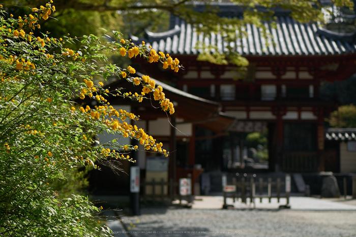 岡寺,シャガ,石楠花(P9710534,43 mm,F2,DMC-GM5)2015yaotomi.jpg