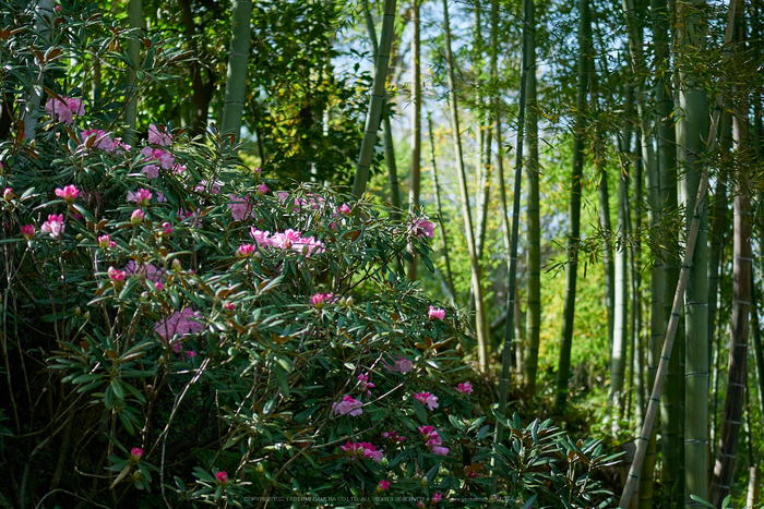 岡寺,シャガ,石楠花(P9710538,43 mm,F1.8,DMC-GM5)2015yaotomi.jpg