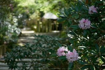 岡寺,シャガ,石楠花(P9710548,43 mm,F1.7,DMC-GM5)2015yaotomi.jpg