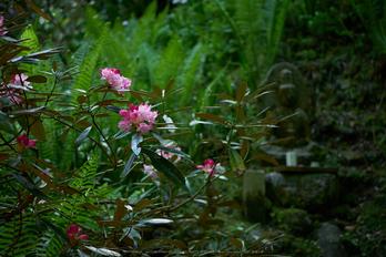 岡寺,シャガ,石楠花(P9710573,43 mm,F1.7,DMC-GM5)2015yaotomi.jpg