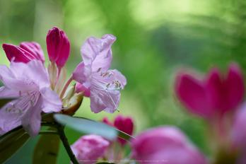岡寺,シャガ,石楠花(P9710576,43 mm,F1.7,DMC-GM5)2015yaotomi.jpg