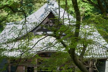 岡寺,シャガ,石楠花(P9710608,43 mm,F1.7,DMC-GM5)2015yaotomi.jpg