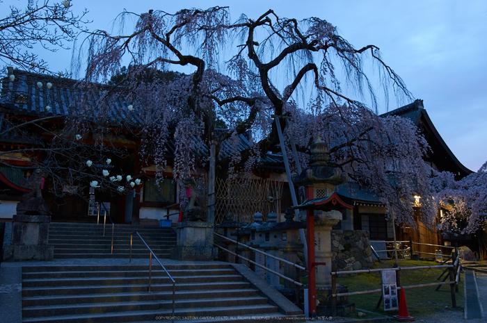 氷室神社,桜(PK3_0821,23 mm,5,K3)2015yaotomi.jpg