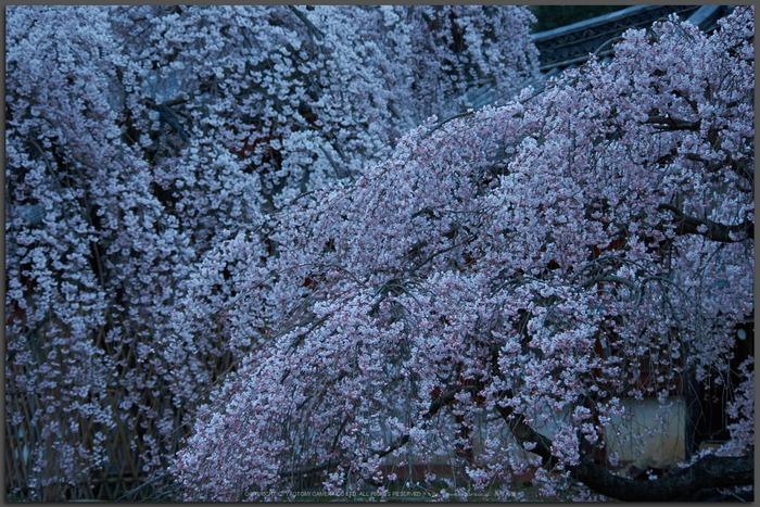 氷室神社,桜(PK3_0846,70 mm,5,K3_T)2015yaotomi.jpg