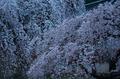 氷室神社,桜(PK3_0846,70 mm,F5,K3_F)2015yaotomi.jpg