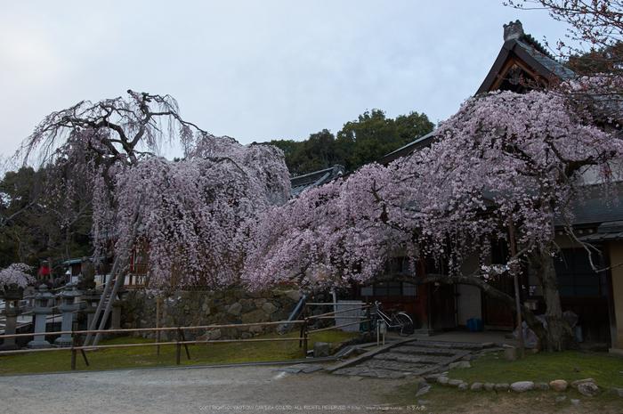 氷室神社,桜(PK3_0884,21 mm,5,K3)2015yaotomi.jpg