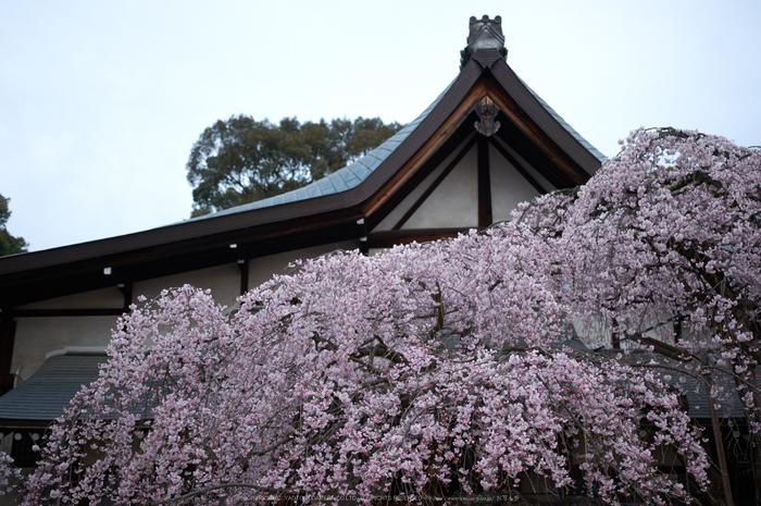 氷室神社,桜(PK3_0900,35 mm,1.8,K3)2015yaotomi.jpg