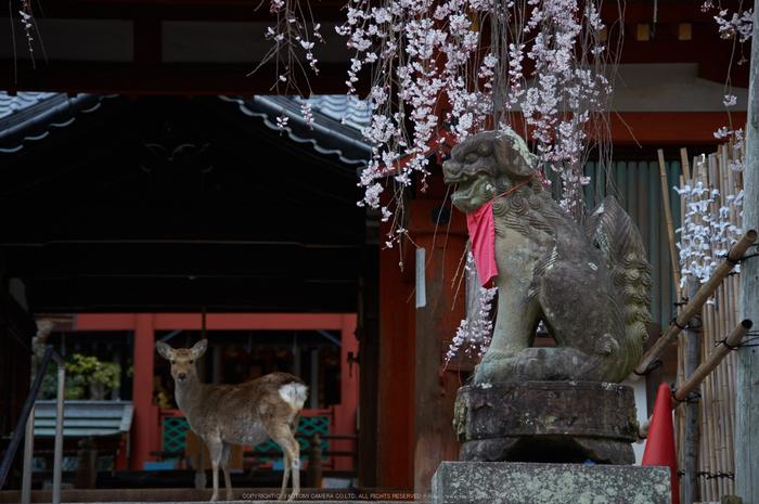 氷室神社,桜(PK3_0926,98 mm,4.5,K3)2015yaotomi.jpg
