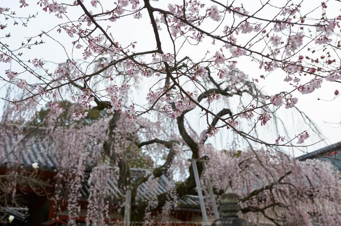 氷室神社,桜(PK3_0953,35 mm,4.5,K3)2015yaotomi.jpg