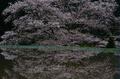 諸木野,桜(PK3_2246,85 mm,6.3,K3_F)2015yaotomi_.jpg