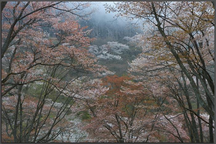 曽爾屏風岩公苑,桜(PK3_3229,35-mm,F7.1,K3)2015yaotomi_t.jpg