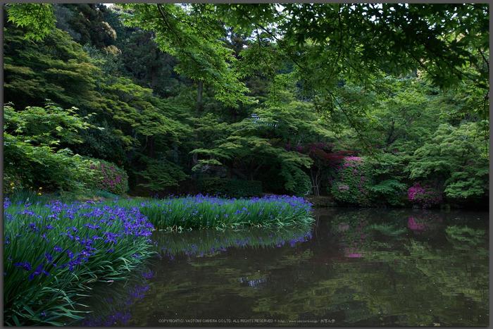 長岳寺,カキツバタ(PK3_4726,18-mm,F5,K3)2015yaotomi_t.jpg