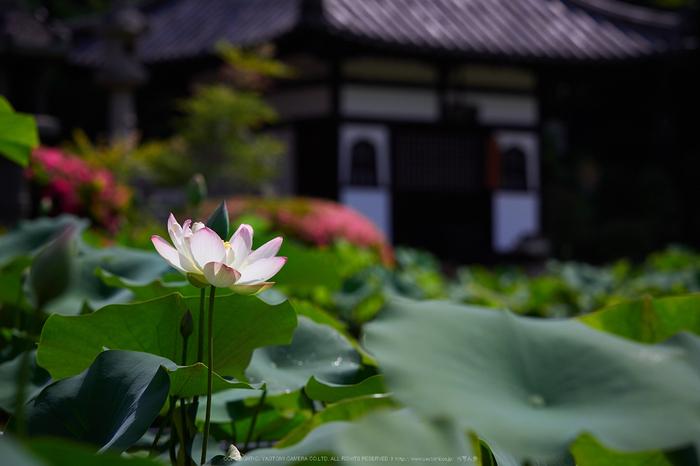 三室戸寺,紫陽花(PEM10045,64 mm,F3.5)2015yaotomi_.jpg