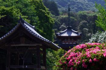 三室戸寺,紫陽花(PEM10051,50 mm,F5.6)2015yaotomi_.jpg