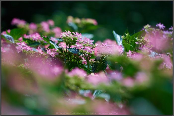 三室戸寺,紫陽花(PEM10094,150-mm,F2.8)2015yaotomi_T.jpg