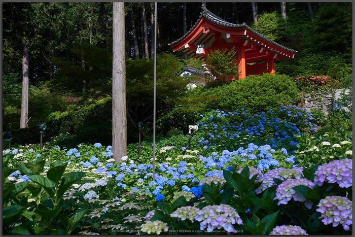 三室戸寺,紫陽花(_6070025,17-mm,F5.6)2015yaotomi_T.jpg