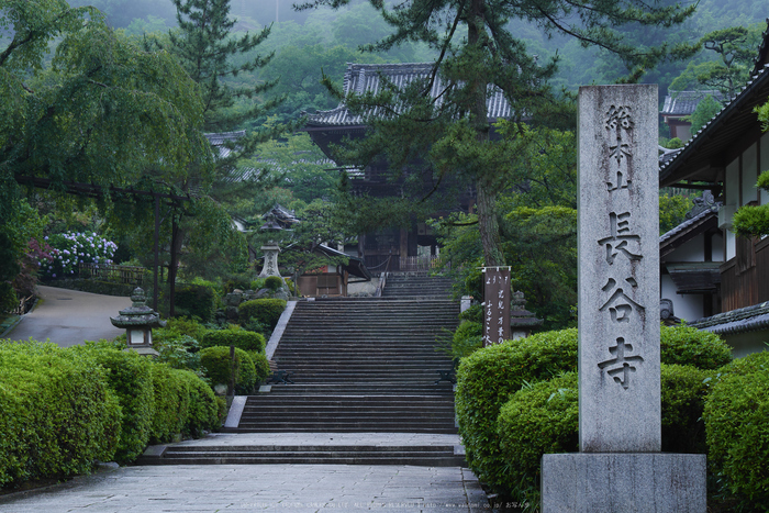 奈良,長谷寺,紫陽花(P1010203,40 mm,F7.1)2015yaotomi_.jpg