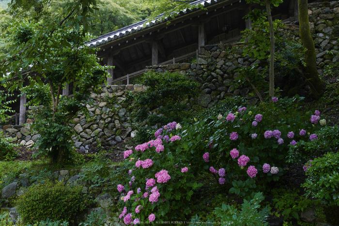 奈良,長谷寺,紫陽花(P1010218,21 mm,F8)2015yaotomi_.jpg