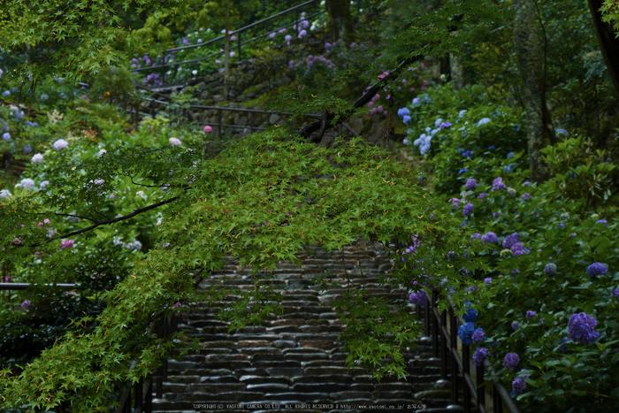 奈良,長谷寺,紫陽花(P1010220,65 mm,F7.1)2015yaotomi_.jpg