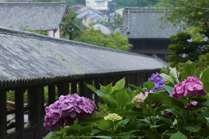 奈良,長谷寺,紫陽花(P1010226,55 mm,F9)2015yaotomi_.jpg