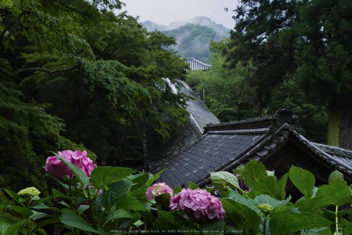 奈良,長谷寺,紫陽花(P1010232,19 mm,F9)2015yaotomi_.jpg