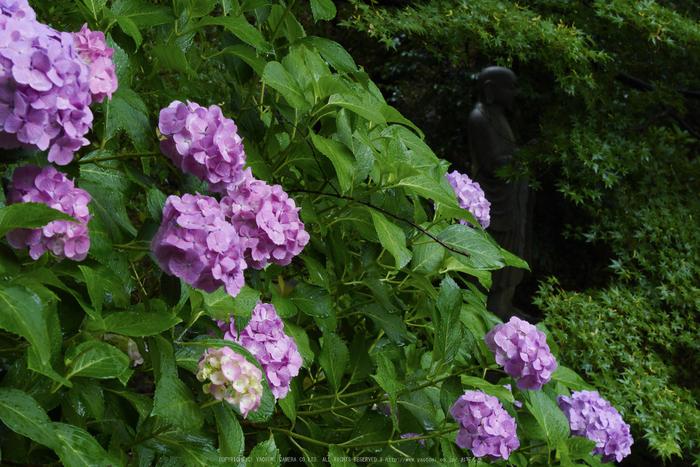 奈良,長谷寺,紫陽花(P1010239,40 mm,F10)2015yaotomi_.jpg