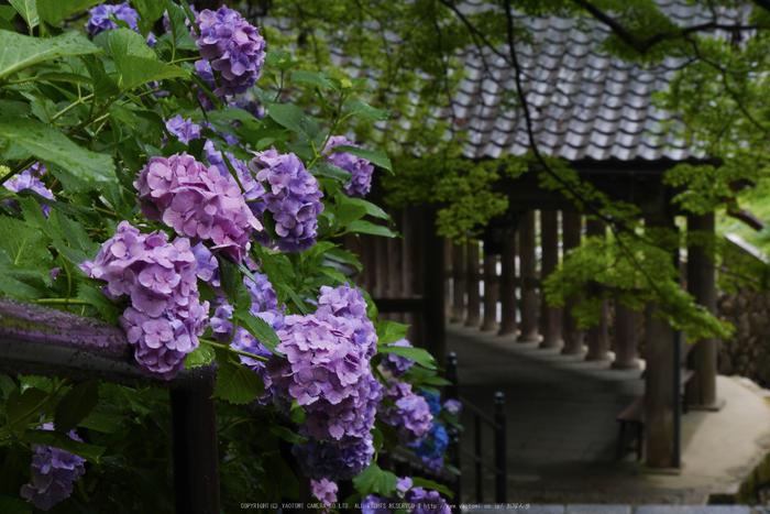 奈良,長谷寺,紫陽花(P1010245,55 mm,F9)2015yaotomi_.jpg