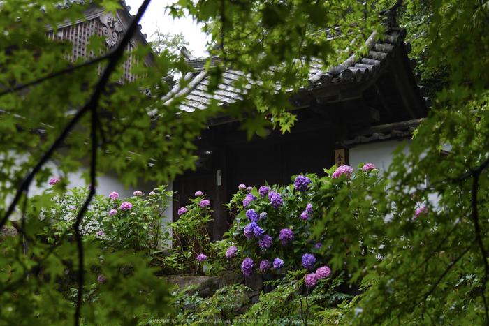 奈良,長谷寺,紫陽花(P1010250,30 mm,F4.5)2015yaotomi_.jpg