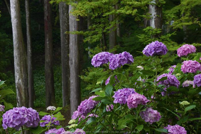 奈良,長谷寺,紫陽花(P1010295,46 mm,F8)2015yaotomi_.jpg