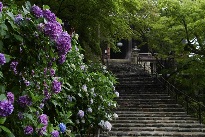 奈良,長谷寺,紫陽花(P1010304,21 mm,F9)2015yaotomi_.jpg