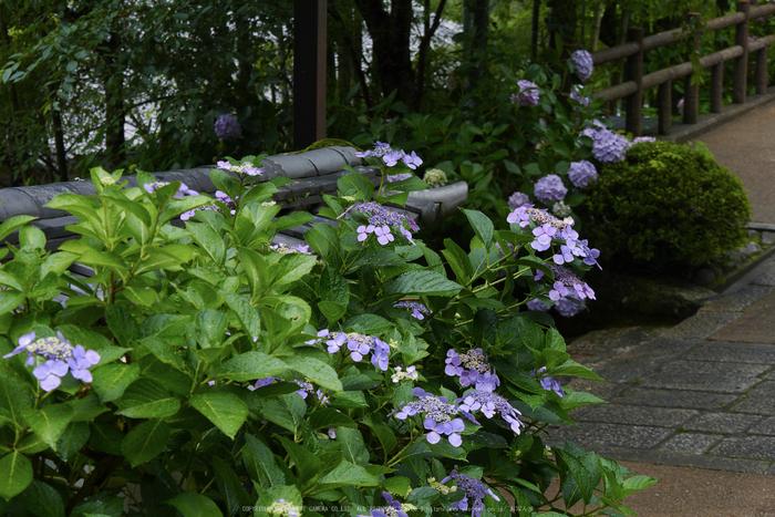 奈良,長谷寺,紫陽花(P1010338,46 mm,F5.6)2015yaotomi_.jpg