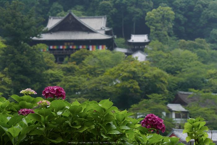 奈良,長谷寺,紫陽花(P1010349,46 mm,F5.6)2015yaotomi_.jpg