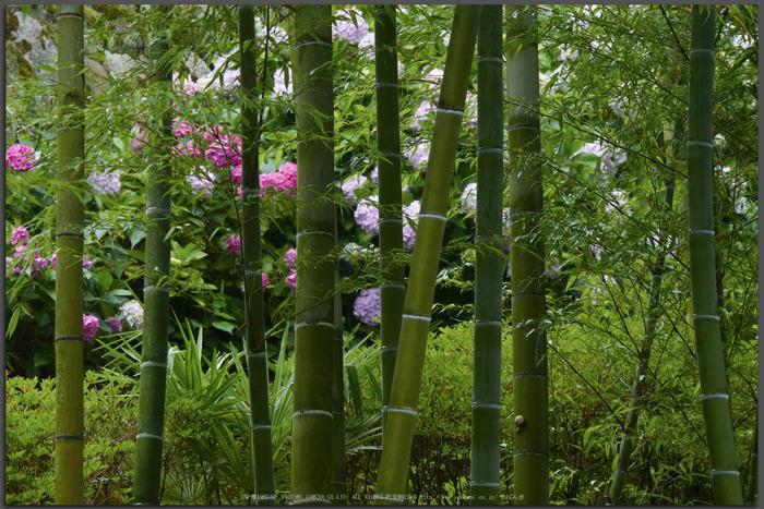 奈良,長谷寺,紫陽花(P1010359,140-mm,F10)2015yaotomi_T.jpg