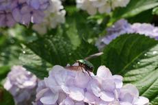 奈良,長谷寺,紫陽花(P1010674,23 mm,F4.5)2015yaotomi_.jpg
